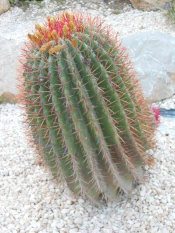 Ferocactus stainesii 'Pilosus' v 3