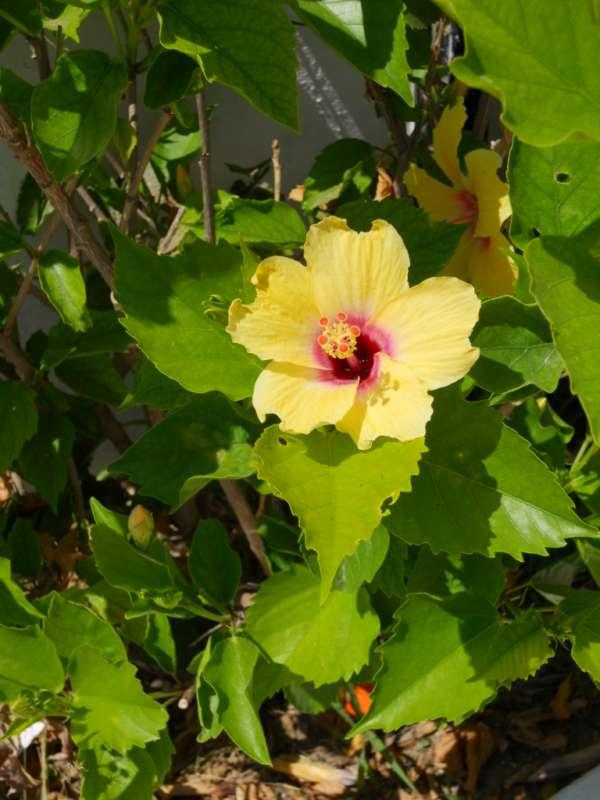 Hibiscus rosa sinensis 'Hula Girl' v 2