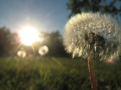 blue sky grass dandelion flare wish sooc wormseyeviewsunday hwevs pointandshootifyoucanbelieveit