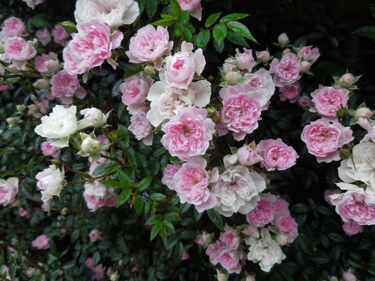 実家の29種のバラがバラ園のように凄いことになってた (3)