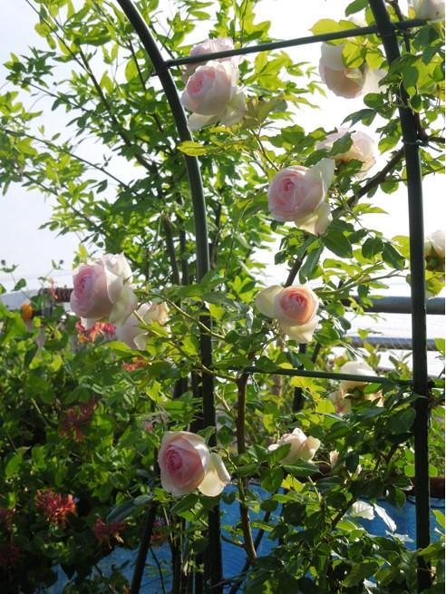 実家の29種のバラがバラ園のように凄いことになってた (4)