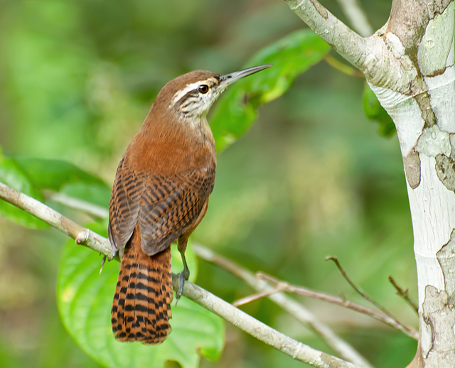 Cantorchilus longirostris Long-billed Wren, Nikon D300S, AF-S VR Zoom-Nikkor 70-300mm f/4.5-5.6G IF-ED