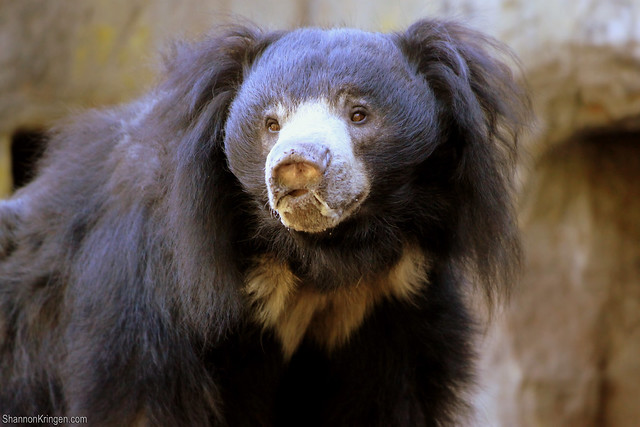 2420 Sloth Bear Flickr Photo Sharing