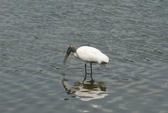 animal, wing, fauna, reflection, shorebird, beak, bird, wildlife,