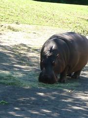 Seattle Zoo: Hippopotamus