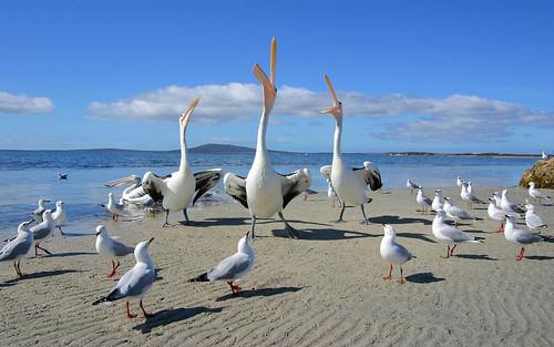 無料写真素材, 動物 , 鳥類, ペリカン, 鴎・カモメ