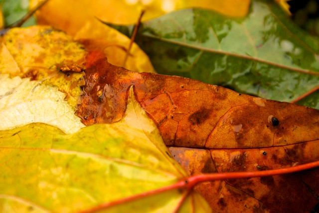Extreme Closeup of Yellow, Orange and Green Fall Leaves, Defocused