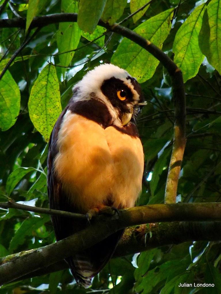 Imagen de una de las aves del Quindio: Buho de Anteojos (Pulsatrix Perspicillata)