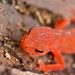 red spotted newt ( juvenile)