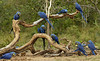 Hyacinth Macaws Feeding, Pete Oxford and Rene Bish