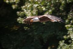 Águila // Eagle
