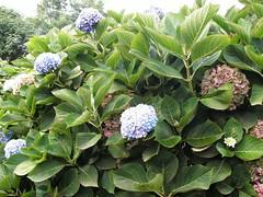 shrub(1.0), cornales(1.0), flower(1.0), leaf(1.0), hydrangea serrata(1.0), plant(1.0), lilac(1.0), flora(1.0), produce(1.0),