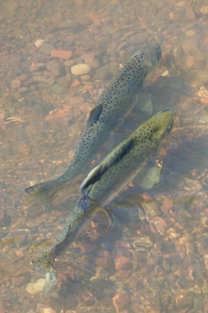 Gooseberry Falls State Park, Minnesota - In a shallow spot at the bottom of Gooseberry Falls, the river was absolutely teeming with trout.  I don`t know my fish very well, but I think these are either brook or brown trout.  They were all at least 12 inches long.  Too bad I didn`t have a fish pole with me.