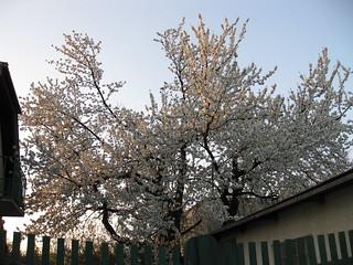Le cerisier dans le jardin