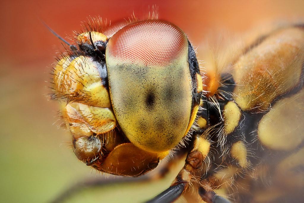portrét vážky