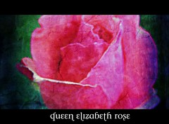 Queen Elizabeth Rose (Textured)