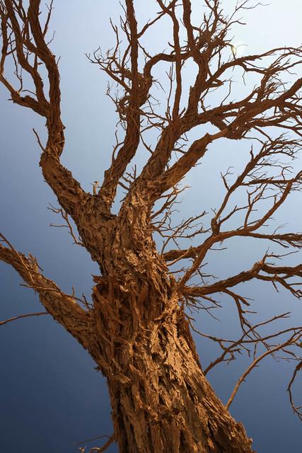 Camel Thorn Tree Namibia Namib Desert Flickr Photo