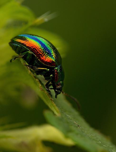 Rainbow beetle