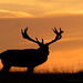 Red Deer Silhouette - Square
