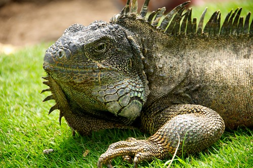 Iguana, Park in Downtown Guayaquil