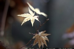 muted yellow   japanese maple leaves