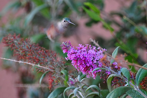 hummer and the butterfly bush III