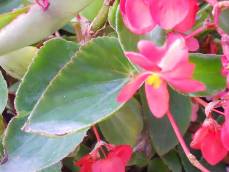 Begonia 'Dragon Wing' 2