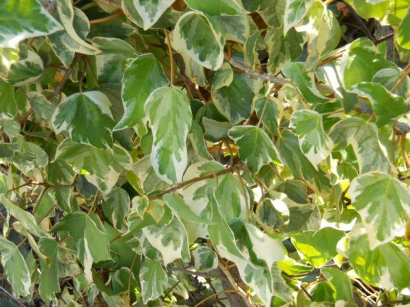 Hedera canariensis 'Variegata' 2