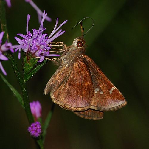 butterfly skipper