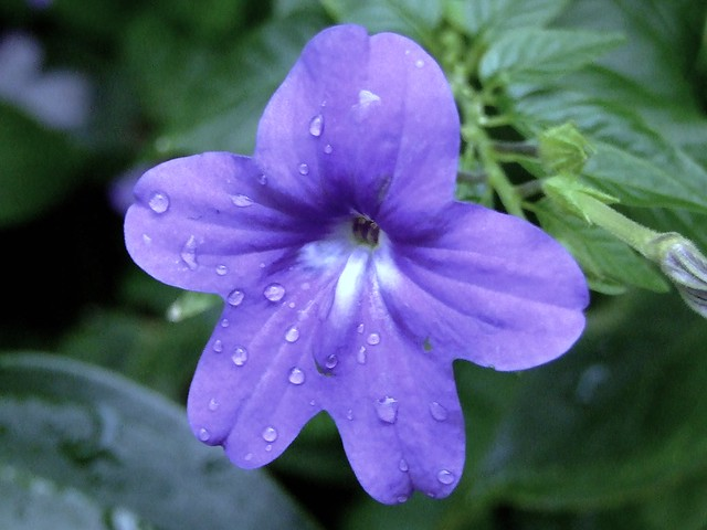 Solanaceae Ȍ�科 Amethyst Flower Browallia Speciosa Ǵ�水晶
