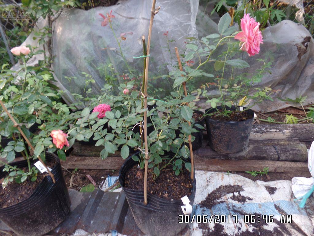 Cây hồng Soleil Romantica rose