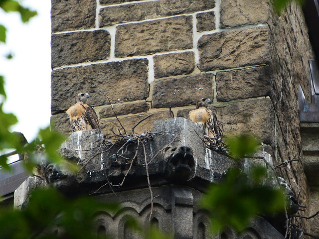 Cathedral Hawk Nestlings - 6052