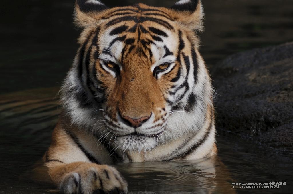 動物攝影: 動物園裡面的老虎依然是老虎 (Animal Photography Zoo Bengal tiger)
