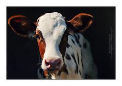 Beware of the Calf