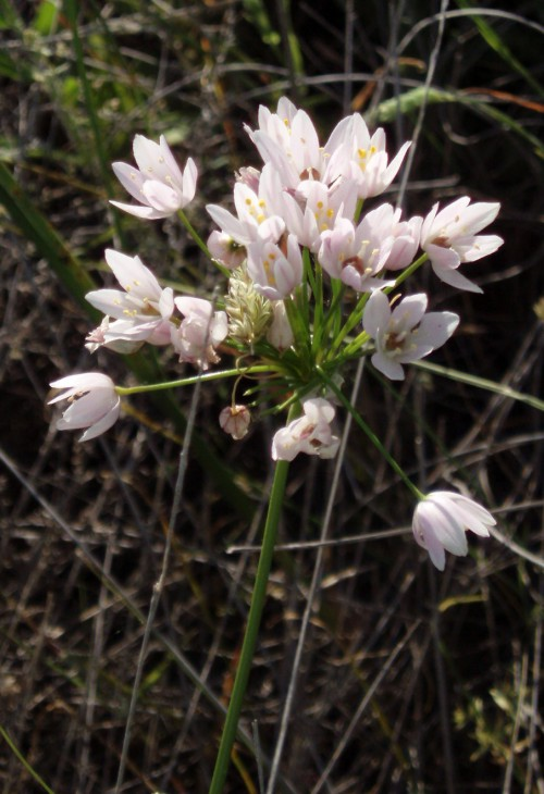 Allium roseum 4752442928_a578931cd2_o