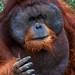 Sumatran Orangutan - Photo (c) Mikaku, some rights reserved (CC BY-NC)