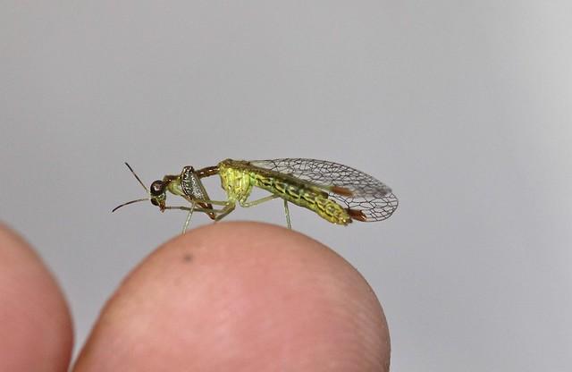 Mantidfly (Mantispidae)