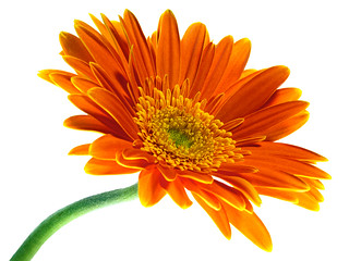 orange gerbera on white