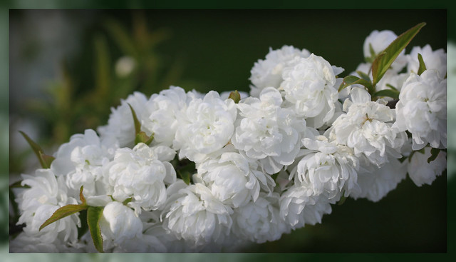 Ornamental White Almond Bush | Flickr - Photo Sharing!