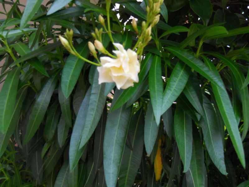 Nerium oleander 'Luteum plenum' 4