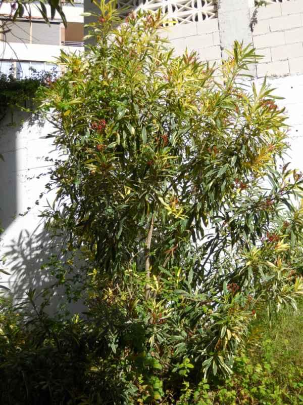 Nerium oleander 'Variegatum' v 1