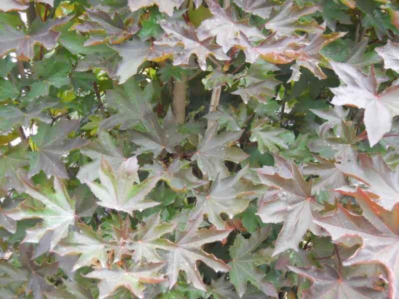 Acer platanoides 'Crimson Sentry' 3