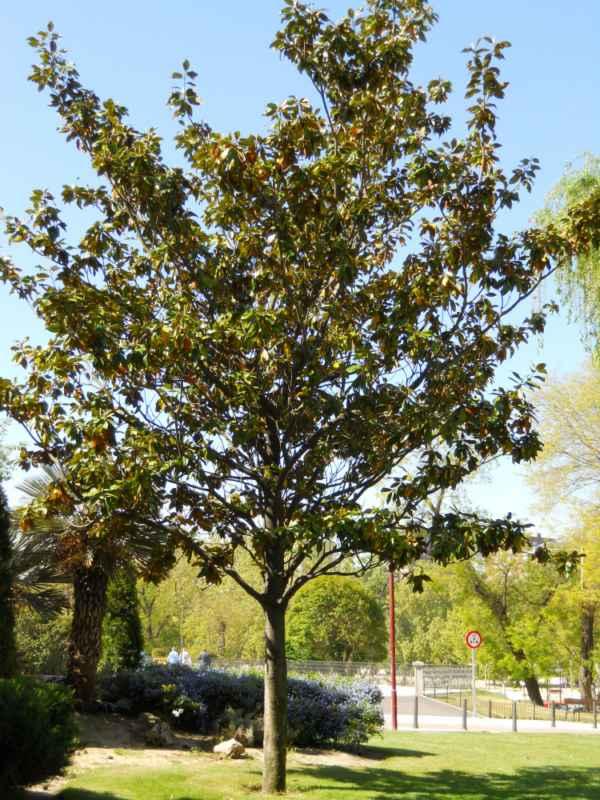 Magnolia grandiflora árbol v 1