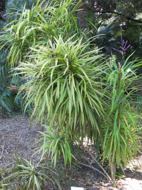 Cordyline stricta v 1