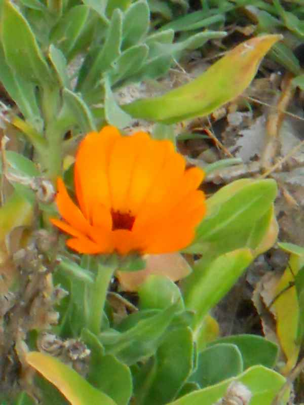 Calendula officinalis v 2
