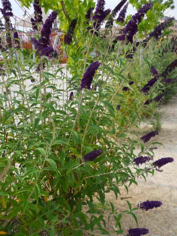 Buddleja davidii 'Black Knight' v 4