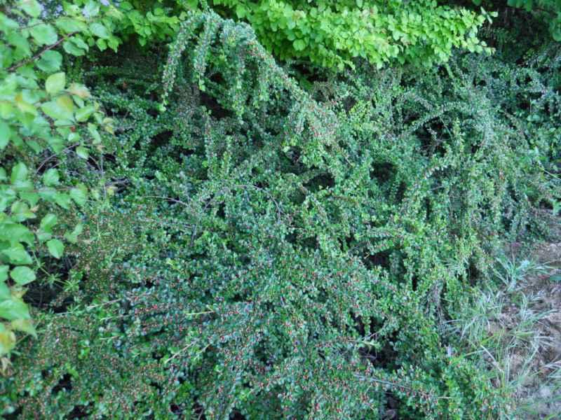 Cotoneaster microphyllus cubresuelos 1