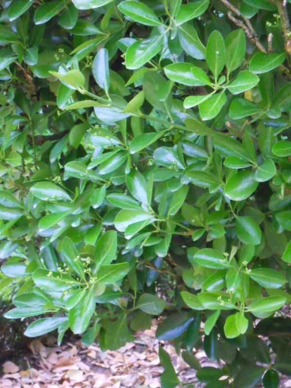 Euonymus japonicus hojas v 3