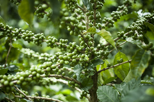 Green Coffee Beans Extract Weight Loss Diet