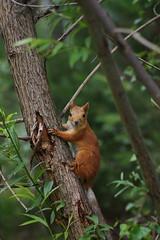 Белка обыкновенная (Sciurus vulgaris)Автор - Татьяна Бульонкова (Новосибирск) Источник: flickr